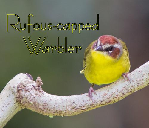 Rufous-capped-Warbler_7043t.jpg