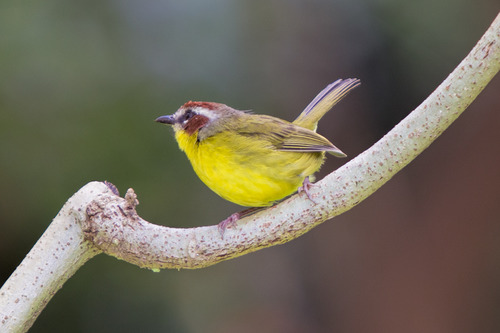Rufous-capped-Warbler_7044-64.jpg