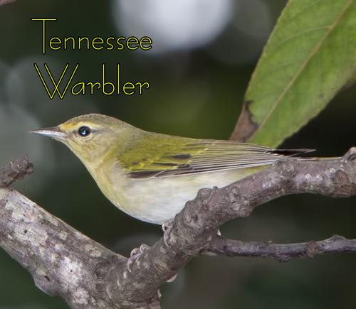 Tennessee-Warbler_7122t.jpg