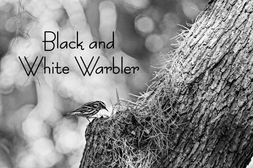 a-black-and-white-warbler_0511bw-64.jpg