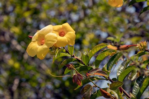 allamanda-Flowers_6702-64.jpg