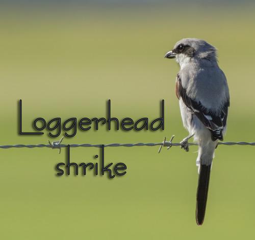 aloggerhead-shrike-7157txt-64.jpg