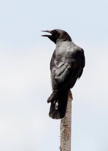 american-crow_0543-57(1).jpg