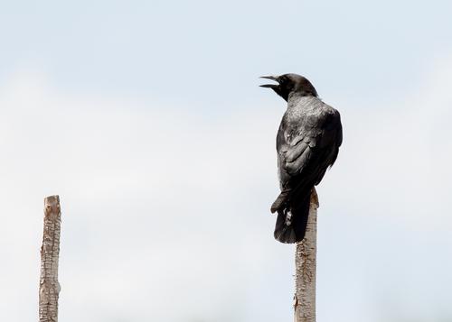 american-crow_0543-75.jpg