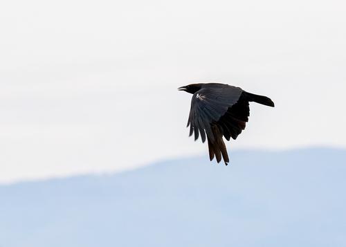 american-crow_0783-75.jpg