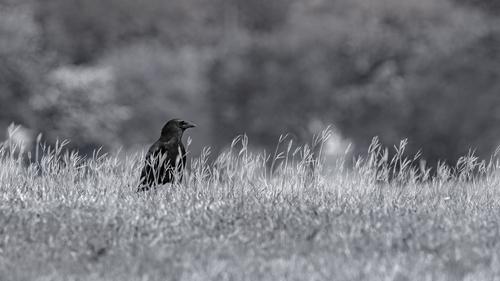 american-crow_7250bw-169(1).jpg