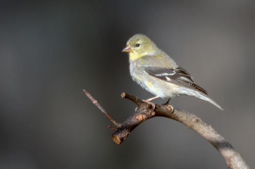american-goldfinch_6083-64.jpg