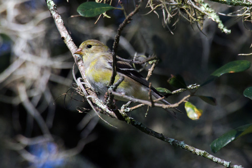 american-goldfinch_6141-64.jpg