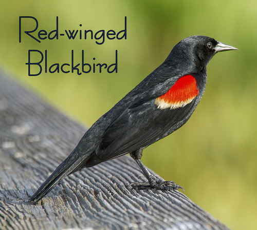 ared-winged-blackbird_4825txt.jpg