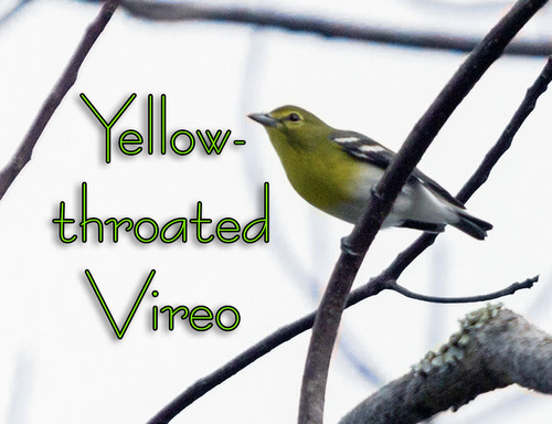 ayellow-throated-vireo_6857txt.jpg