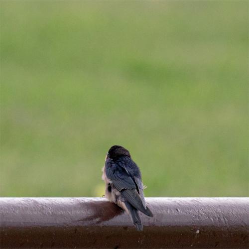 barn-swallow-gif.jpg