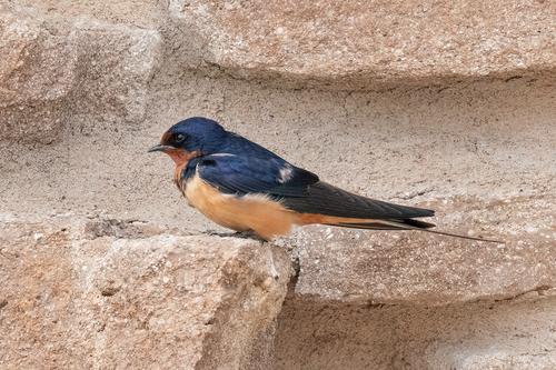 barn-swallow_3131a-64.jpg