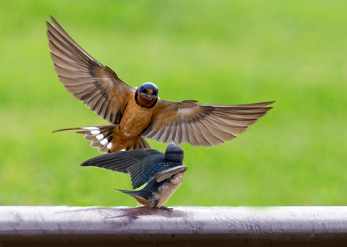 barn-swallows_6649-75.jpg