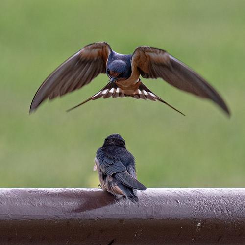 barn-swallows_6658-66.jpg