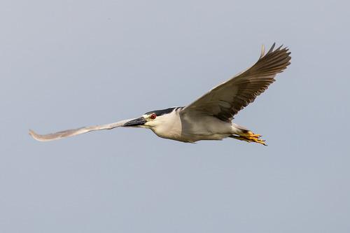 black-crowned-night-heron_0795-64.jpg