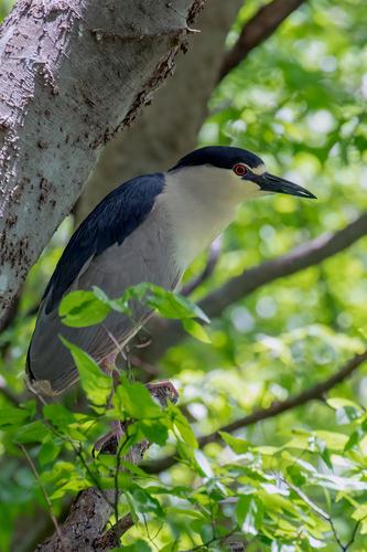 black-crowned-night-heron_1863-46(1).jpg
