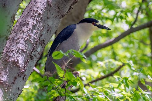 black-crowned-night-heron_1863-64(1).jpg