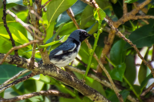 black-throated-blue-warbler_6977-64.jpg