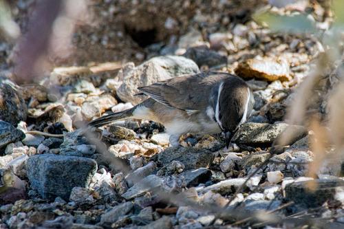 black-throated-gray-warbler_0448-64.jpg