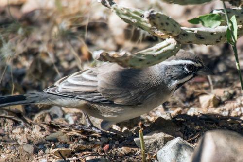 black-throated-gray-warbler_0865-64.jpg
