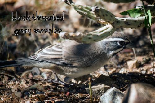 black-throated-gray-warbler_0865txt-64.jpg