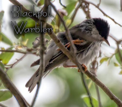 blackpoll-warbler_3847txt-64.jpg