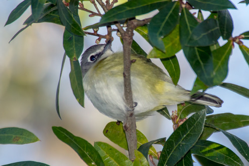 blue-headed-vireo_0746-64.jpg