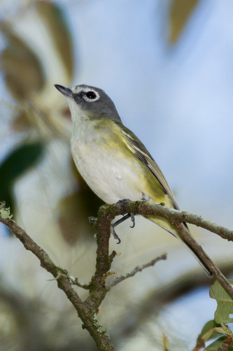 blue-headed-vireo_2730-46.jpg
