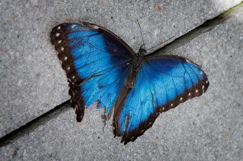 blue-morpho_3475-64.jpg
