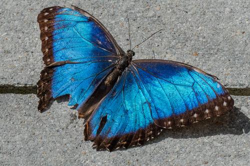 blue-morpho_70288-64-68096.jpg