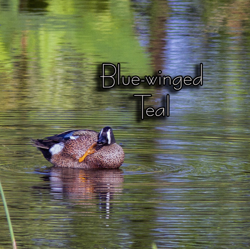 blue-winged-teal_3738txt.jpg