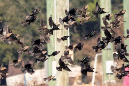 brown-headed-cowbirds_8430-64.jpg