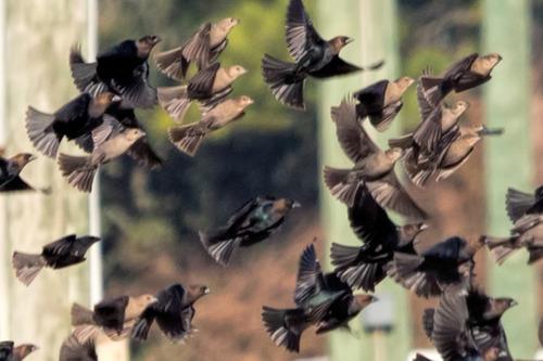 brown-headed-cowbirds_8430a-64.jpg
