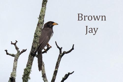 brown-jay_6804-64.jpg