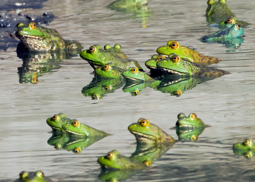 bullfrogs_1334-75.jpg