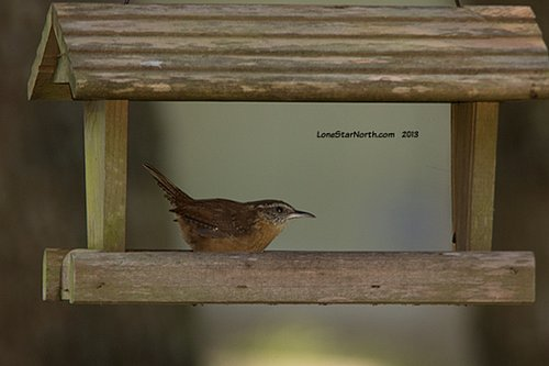 carolina_wren_0891wM.jpg