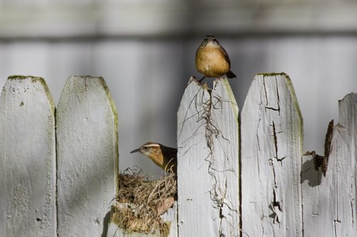 carolina_wrens_fence_18161-6x4.jpg