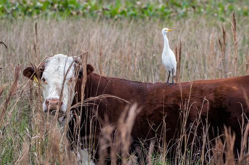 cattle-egret-cow_3630-64-1c07a.jpg