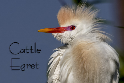 cattle_egret_1266txt-64.jpg