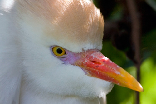 cattle_egret_1317-6x4.jpg