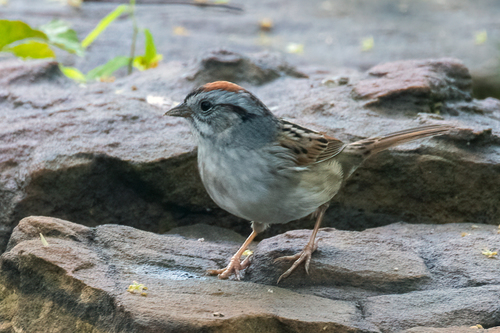 chipping-sparrow_1564-64.jpg