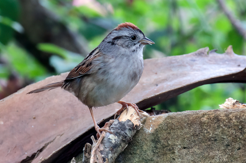 chipping-sparrow_1616-64.jpg