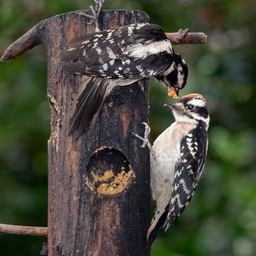 downy-woodpeckers_7399-77.jpg
