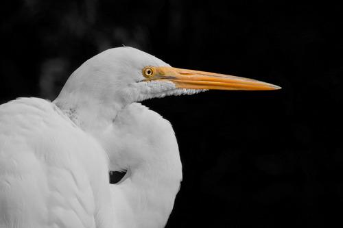 egret_0809-64bwc.jpg