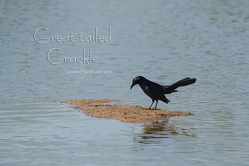 great-tailed-grackle_2718-6496txt.jpg