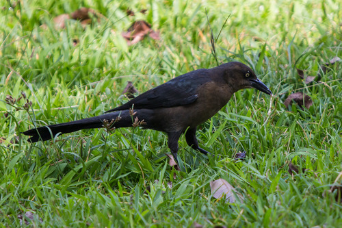 great-tailed-grackle_7796-64.jpg