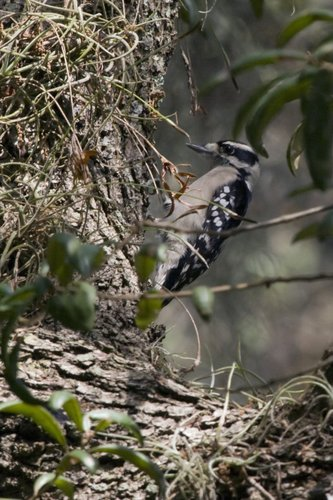 hairy_woodpecker_1122-4x6.jpg