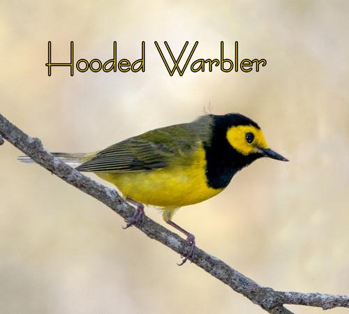 hooded-warbler_0858t.jpg