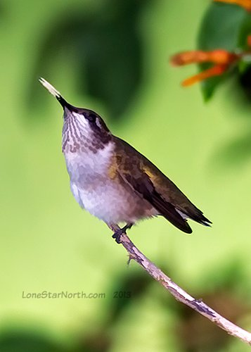 hummingbird_9833wm.jpg
