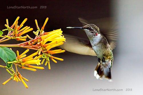 hummingbird_9844wm.jpg